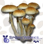 Psilocybe cubensis : Treasure Coast Spore Print Microscopy Kit