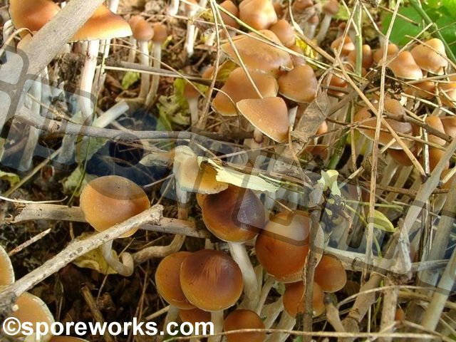 Psilocybe azurescens : Elixier Strain Flying Saucers Spore Print