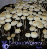 Panaeolus (Copelandia) cyanescens : RDU - Red Down Under, Redspore Mutation Spore Print Microscopy Kit