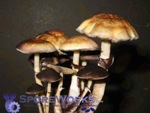 Psilocybe cubensis : Menace Spore Print Microscopy Kit