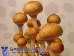 Psilocybe cubensis : Costa Rica Spore Print Microscopy Kit