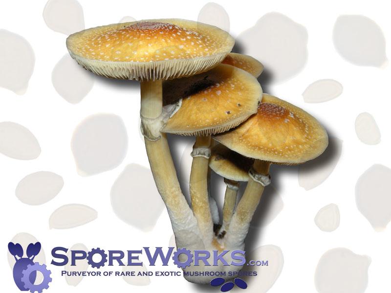 Psilocybe cubensis : Golden Teacher Spore Syringe Microscopy Kit