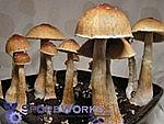 Psilocybe cubensis : Ecuador Spore Print Microscopy Kit