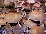 Psilocybe cubensis : PES Hawaiian Spore Print Microscopy Kit
