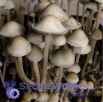 Panaeolus (Copelandia) cambodginiensis : Thailand, Suphanburi Goliath(TM) Spore Syringe Microscopy Kit