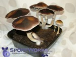 Psilocybe cubensis : Fiji Spore Print Microscopy Kit